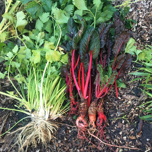 Healing from Harvest: Community Gardens as Healing Gardens