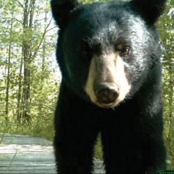 Habitat & Corridors - bear